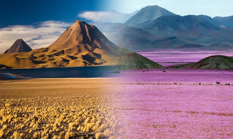 """Debido al fenómeno climático """"El Niño"""", el afamado desierto de Atacama en Chile, tuvo el florecimiento más espectacular de los últimos años y se pudo presenciar uno de los eventos más extraños de la Tierra en el desierto más seco del planeta. https://elviajerofeliz.com"""